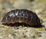 Pillbugs/ Sowbugs, Earwigs, Millipedes, Centipedes, Snails/ Slugs, Crickets